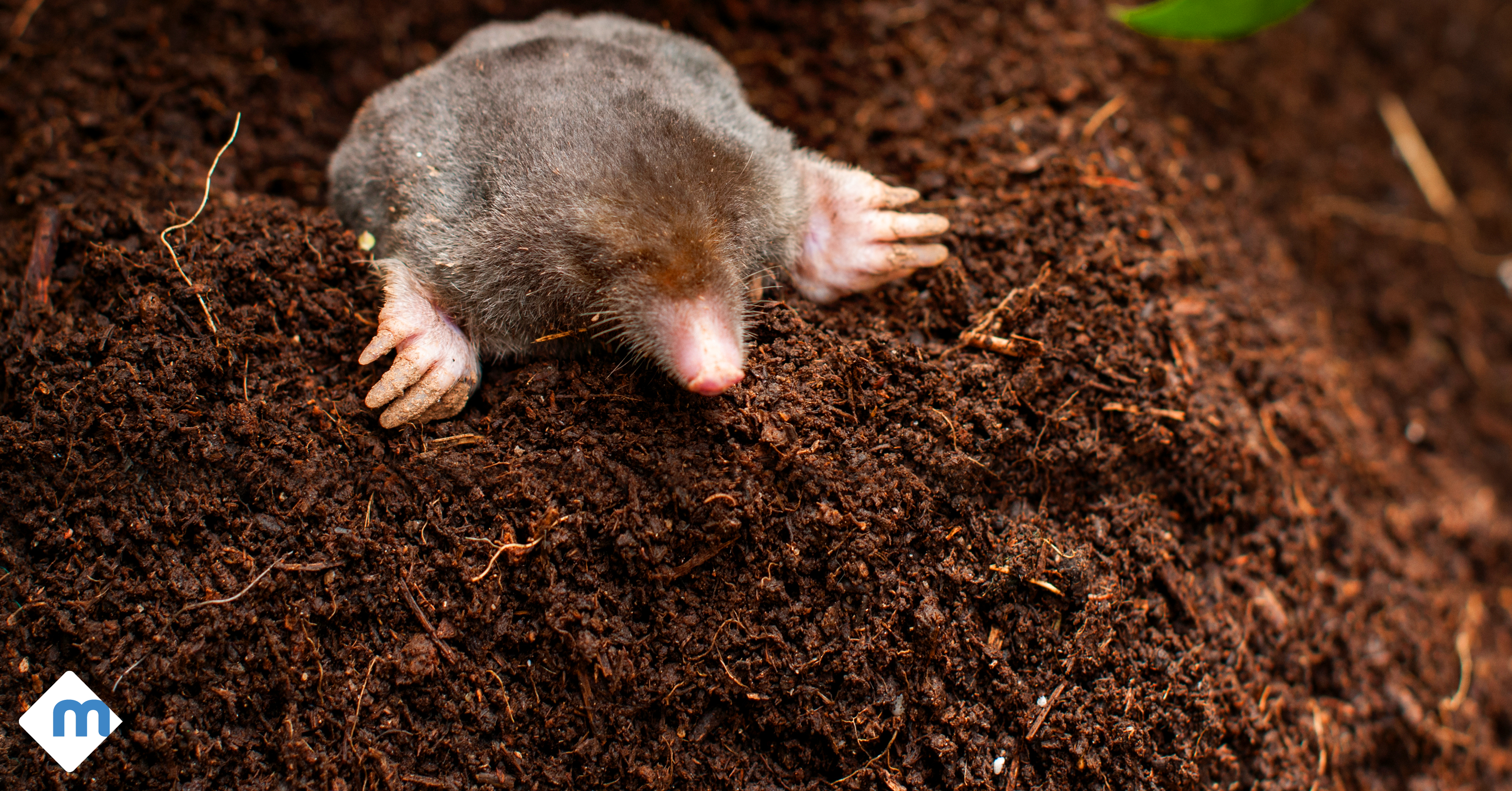 Voles, Moles, \u0026 Gophers\u2026 Oh My! Controlling Burrowing Pests